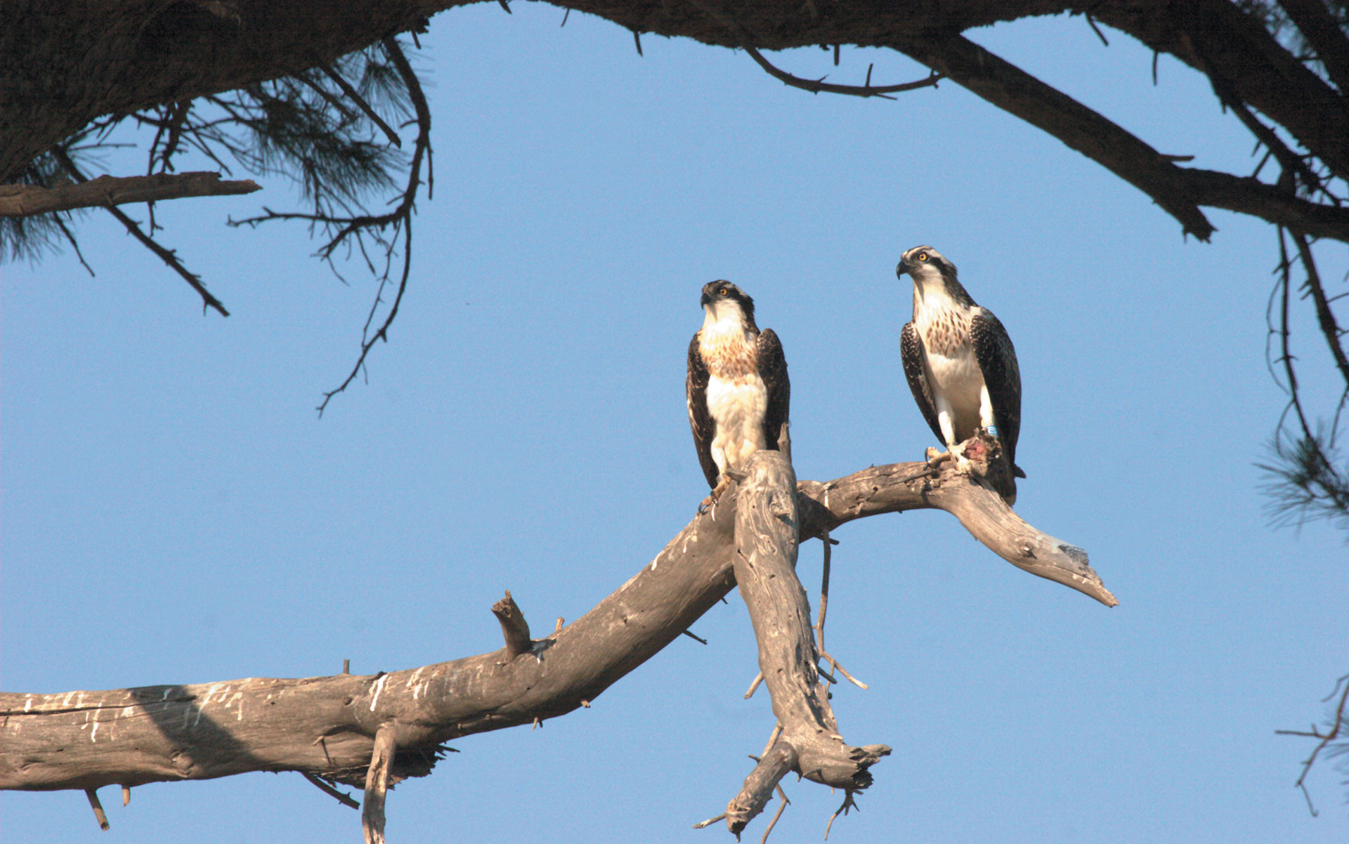 Falco Pescatore